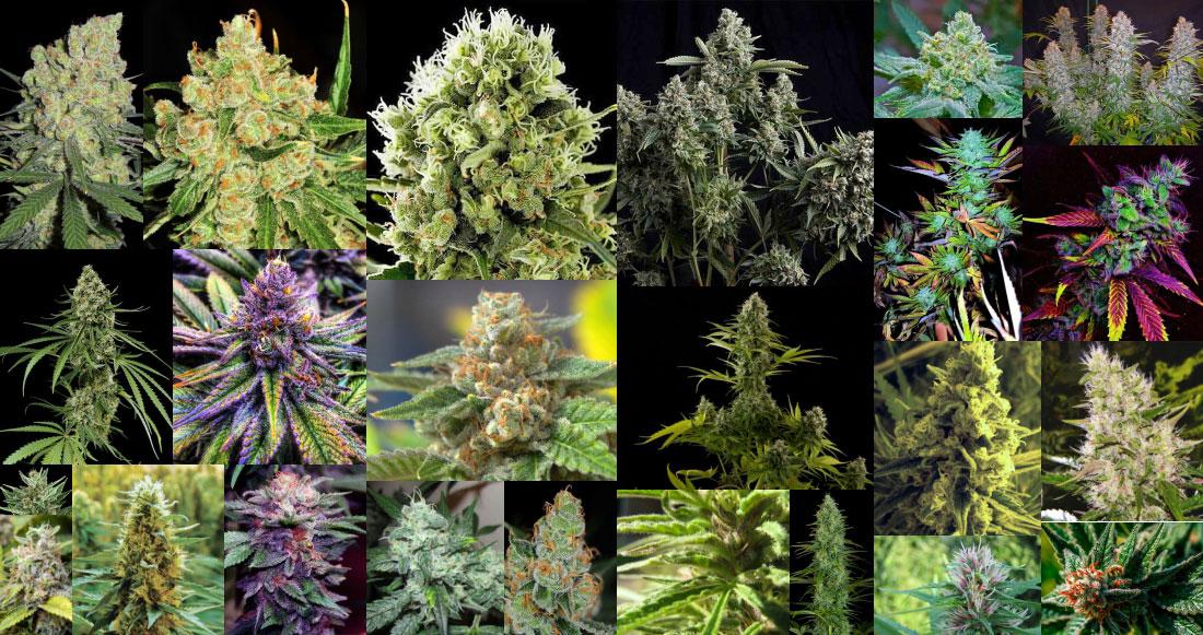 THC Cannabis Strains Marijuana Plants- Sativa & Indica